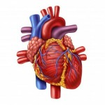 Srce, pomemben človeški organ