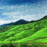 Nuwara Eliya, domovina čaja